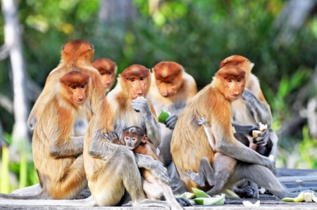 Group of proboscis monkeys during the feeding time, national park in Borneo.