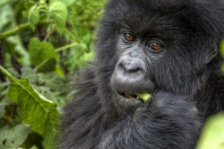 Photo pour Young mountain gorilla eating - image libre de droit