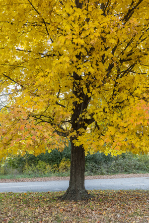 Foto per Yellow Maple Tree In Autumn - Immagine Royalty Free