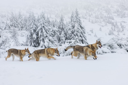 Foto de Four wolves in fresh snow in the mountains - Imagen libre de derechos