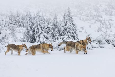 Foto für Four wolves in fresh snow in the mountains - Lizenzfreies Bild