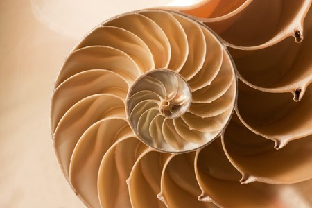 A perfect close up of an amazing fibonacci pattern in a nautilus shell