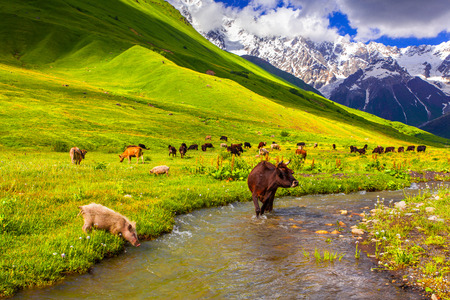 Cattle on the watering in the mountains. Summer sunny day