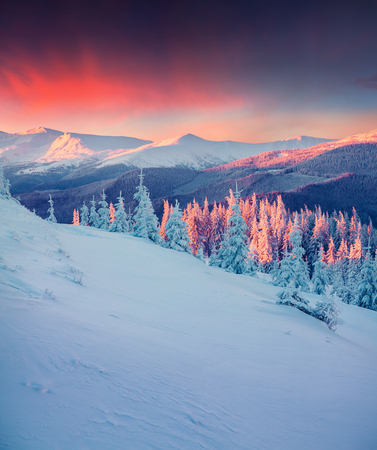 Foto de Colorful winter scene in the Carpathian mountains. Fir trees covered fresh snow at frosty morning glowing first sunlight. - Imagen libre de derechos