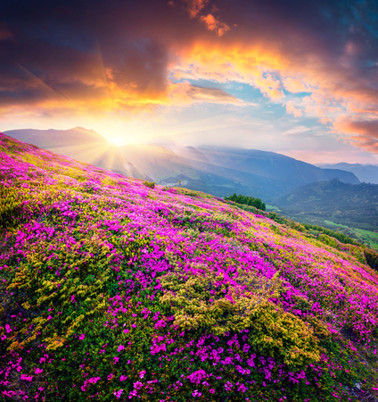 Dramatic summer sunset in the Carpathian mountains. Great evening view of the fields of blooming rhododendron flowers in the mountain valley. Beauty of nature concept background.