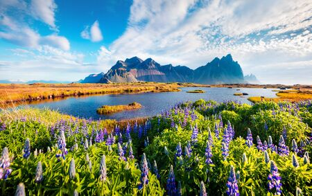 Photo pour Superb morning scene of Stokksnes cape with Vestrahorn (Batman Mountain) on background. Spectacular  summer scene of Iceland with field of blooming lupine flowers. Beauty of nature concept background. - image libre de droit