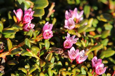 Blossoms of the alpine azalea (Kalmia procumbens).