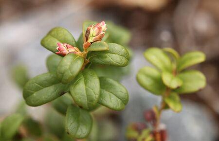 Flower buds of Vaccinium vitis-idaea, the lingonberry.