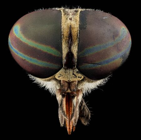 Photo for Tabanus Fly Macro, Closeup of face head of insect - Royalty Free Image