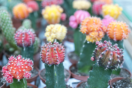 Flowering cactus in small pots.