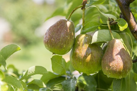 Foto für ripe pear, pear tree. William Bon Chretian pears ripening on the tree. A pair of ripe pears on the branches - Lizenzfreies Bild