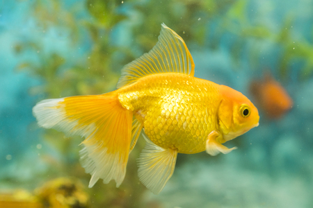 Photo for Goldfish in freshwater aquarium with green beautiful planted tropical. fish in freshwater aquarium with green beautiful planted tropical. - Royalty Free Image