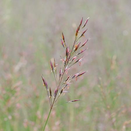 Gold beard grass  Chrysopogon aciculatus  Retz   Trin