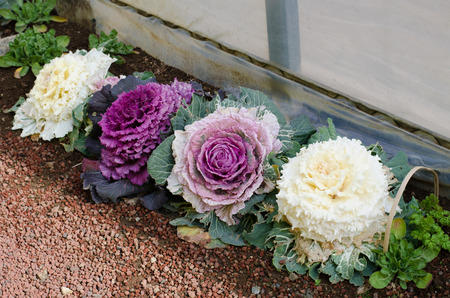 ornamental decorative cabbage in japan