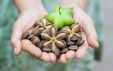 Photo pour Image of sacha inchi peanut seed in hands - image libre de droit