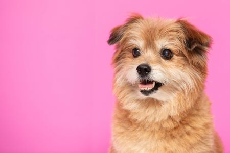 Mix breed happy dog smile and cheerful on pink background,Happiness dog Concept