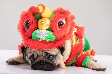 Photo for Happy dog pug breed in Chinese New Year Lion dance costume for Happy and lucky year - Royalty Free Image