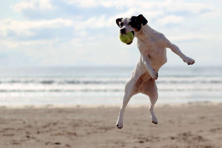 Dog jumping to catch a tennis ball on a beach