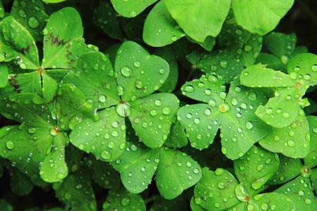 Foto de quatrefoils with water drops as nice texture - Imagen libre de derechos