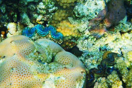 Photo pour giant clam from egypt as very nice background - image libre de droit
