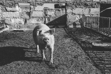 Big pink pig walks in paddock. Livestock farm. Horizontally framed shot.