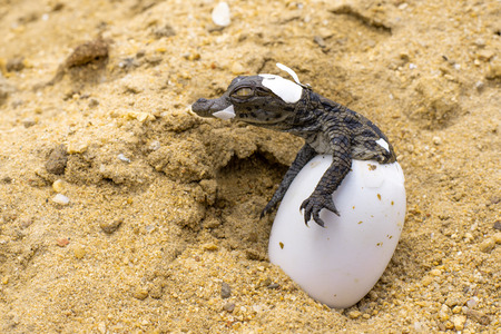 A baby Nile Crocodile emerges from its egg.