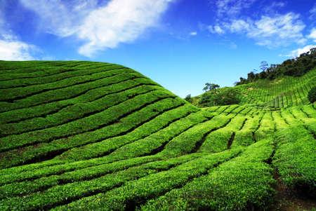 Bahrat Tea Plantation in Cameron Highland, Malaysia