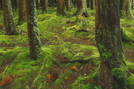 Photo pour mystic green forest ground with roots on Soa Miguel, Azores, Portugal - image libre de droit