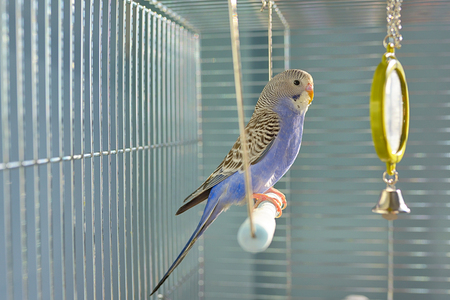 Photo for Indigo Budgerigar parrot in his cage - Royalty Free Image