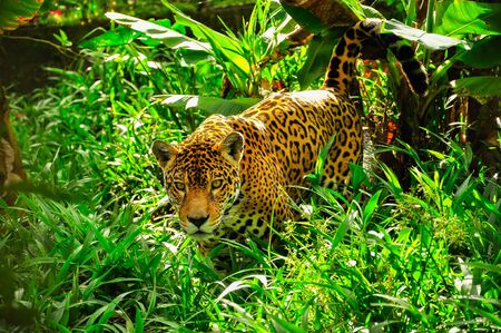 Photo pour An adult jaguar staling in the grass - image libre de droit