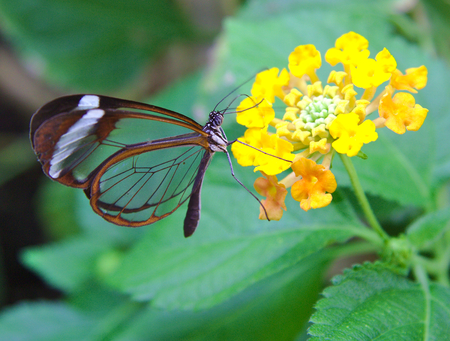 Greta Oto butterfly with transparent wings feeds on a flower