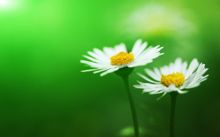 Foto per Bunch of white flowering daisies - Immagine Royalty Free
