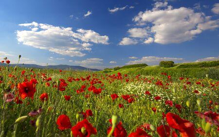 Photo pour Beautiful and colorful poppy field - image libre de droit