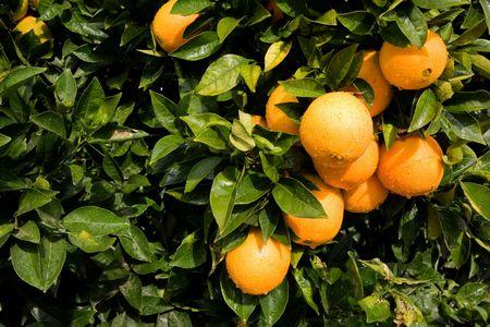 Beautiful ripe oranges hanging on an orange-tree in an orchard