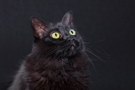Photo pour Portrait of a black cat looking up on a dark background, acting curious and focused. Long hair Turkish Angora breed. Adult female. - image libre de droit