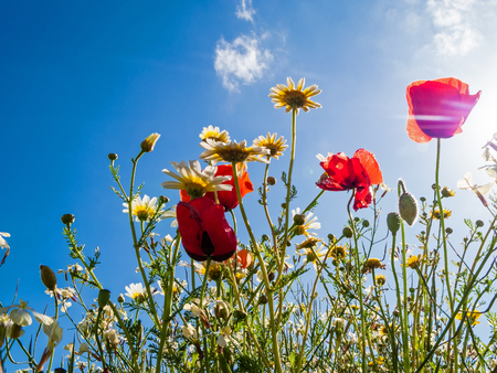 Photo pour Bright red poppies backlit in poppy field. Looking up or upwards from ground level - image libre de droit