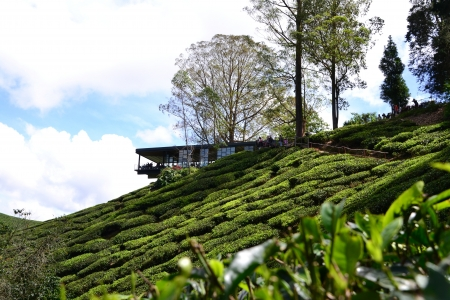 Tea plantation with teahouse at hilltop in Cameron Highlands, Malaysia
