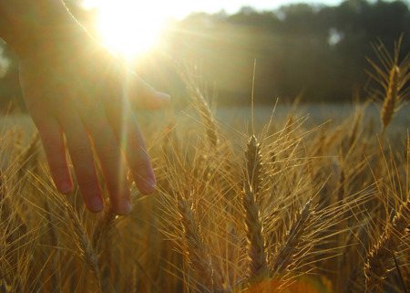 hand caressing wheat