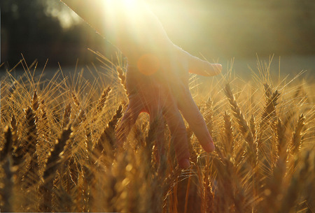 caressing wheat