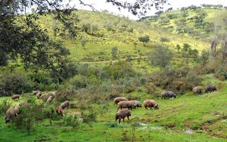Sapanish pigs in the meadow of Sierra de Huelva