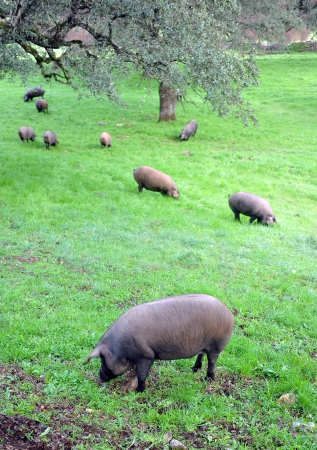 Iberian pigs in the meadow of Andalucia