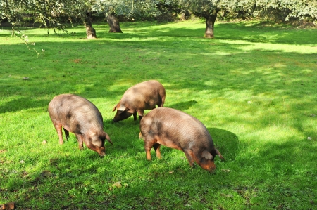 Iberian pigs in the meadow of Extremadura