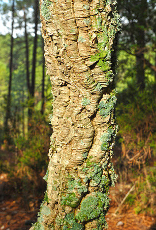 Trunk of cork oak, cork, forest in Sierra Morena, Fuencaliente, Ciudad Real province, Castilla la Mancha, Spain