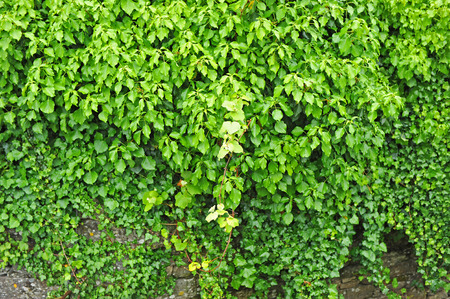 Ivy covered wall, textured vegetable