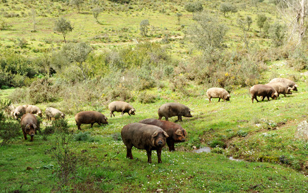 Iberian pigs in the meadow of Spain