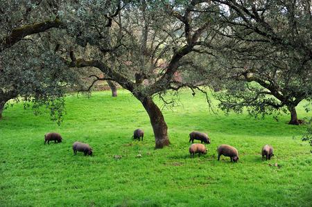Iberian pigs in the meadow, Sierra de Huelva, Andalusia, Spain