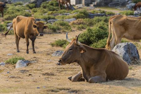 Galician cows.