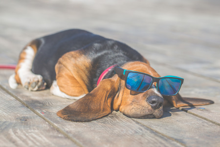 Foto de Little sweet puppy of Basset hound with long ears lying on a wooden floor and rests - sleeps. Puppy wearing sunglasses  and looks very funny. Growing up, playing, happiness, joke - Image - Imagen libre de derechos