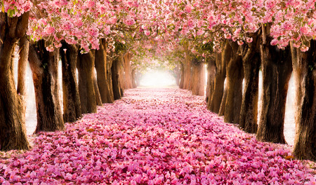 Foto de Falling petal over the romantic tunnel of pink flower trees / Romantic Blossom tree over nature background in Spring season / flowers Background - Imagen libre de derechos