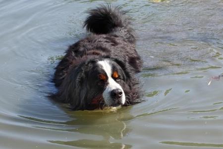 Bernese mountain dog beautiful swimming in the lake water (bouvier bernois)